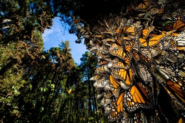 monarchs-in-mexico