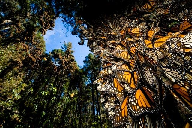 monarchs-in-mexico