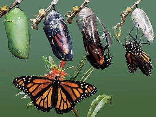 fefee4102174163b883bf07c3f9246c5--butterfly-cocoon-monarch-butterfly.jpg