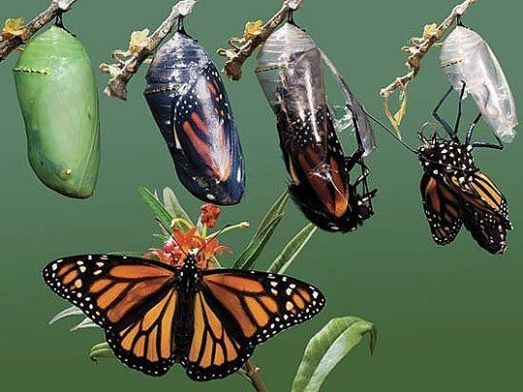 fefee4102174163b883bf07c3f9246c5--butterfly-cocoon-monarch-butterfly